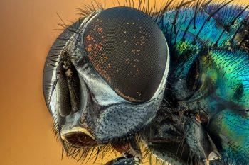ingrandimento della testa di una mosca ottenuto con un obiettivo macro