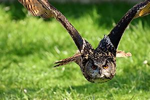 uccello in volo con af continuo